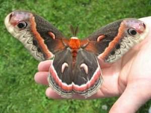 cecropia_moth_hand