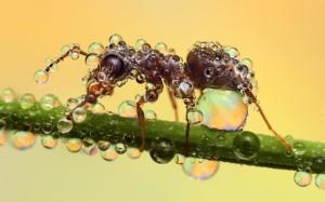 dew ant