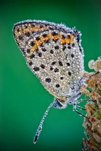 dew butterfly