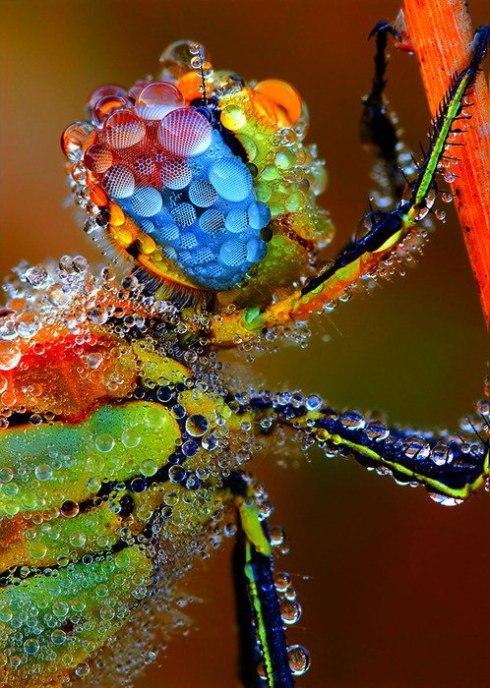 dew dragofly