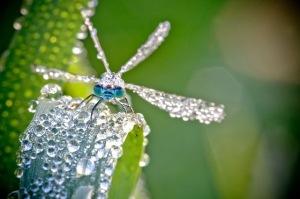 dew dragonfly 2