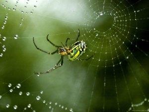 dew spider