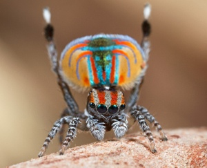 peacock spider 2