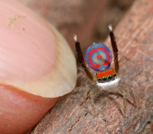 peacock spider 3
