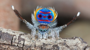 peacock spider1