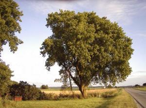 Boxelder_tree