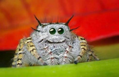 smiling jumping spider