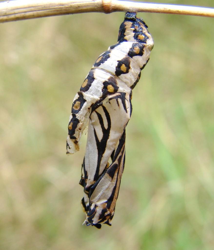 The glasswing butterfly and symbolism wannabe entomologist glasswing pupa 877x1024 buycottarizona