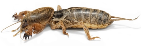 mole-cricket1