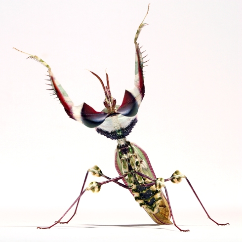 Devil's Flower mantis threat pose