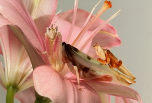 Orchid mantis couple
