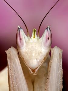 Orchid mantis portrait