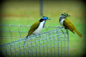 Blue and Green-faced Honeyeaters