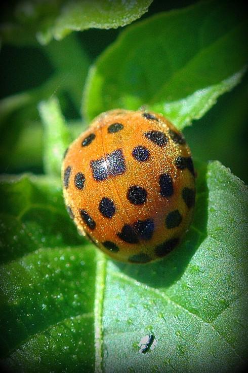 Ladybug (Ladybird)