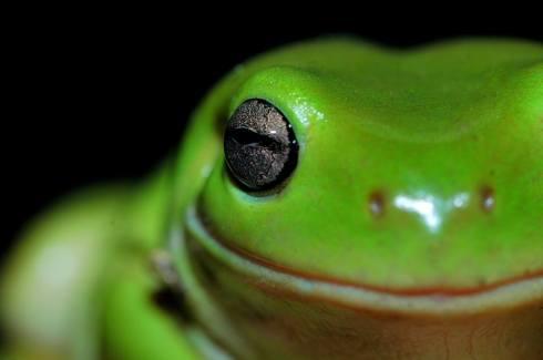 green frog close up