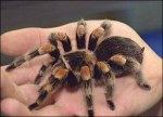 tarantula-Giant-Tarantula-spider-1334130111