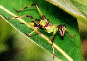 Photo credit: www.brisbaneinsects.com
