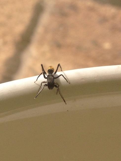 golden ant mimic