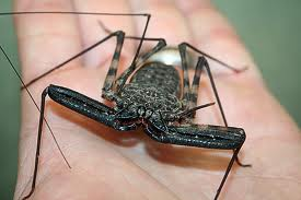 African Cave spider