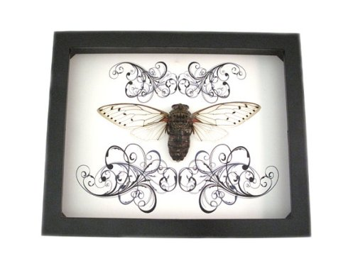 Real cicada framed picture.