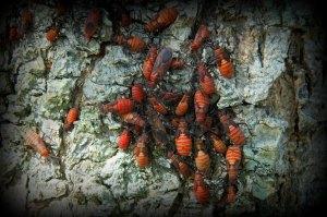 Red-eye bug nymphs