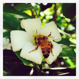 Bee on Mock orange bush